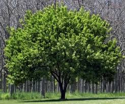 обрезка деревьев в Краснодаре